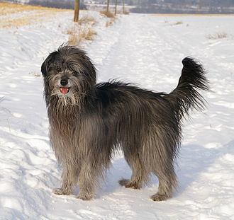 Pyrenean Shepherd - A Pyrenean Shepherd in the snow.