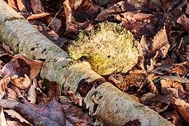 Berkenzwam (Piptoporus betulinus) (d.j.b.) 12.jpg