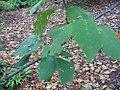 Betula maximowicziana 1zz.jpg
