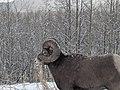 Big Horn Sheep in Bluerock Wildland Provincial Park.jpg