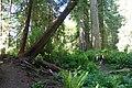 Big Trees - panoramio.jpg