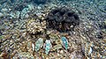Big and little giant clams Samoa.jpg