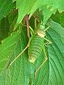 Big insect on leaf.JPG