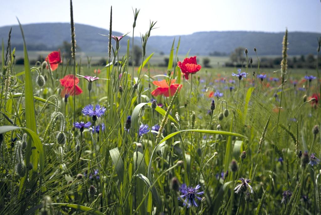 Nahaufnahme von blühenden Korn- und Mohnblumen am Feldrand, Symbol für Biodiversität