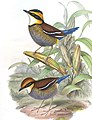 BirdsAsiaJohnGoVGoul 0316, crop.jpg