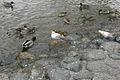 Birds in Hachimangu,Kamakura (2191583399).jpg