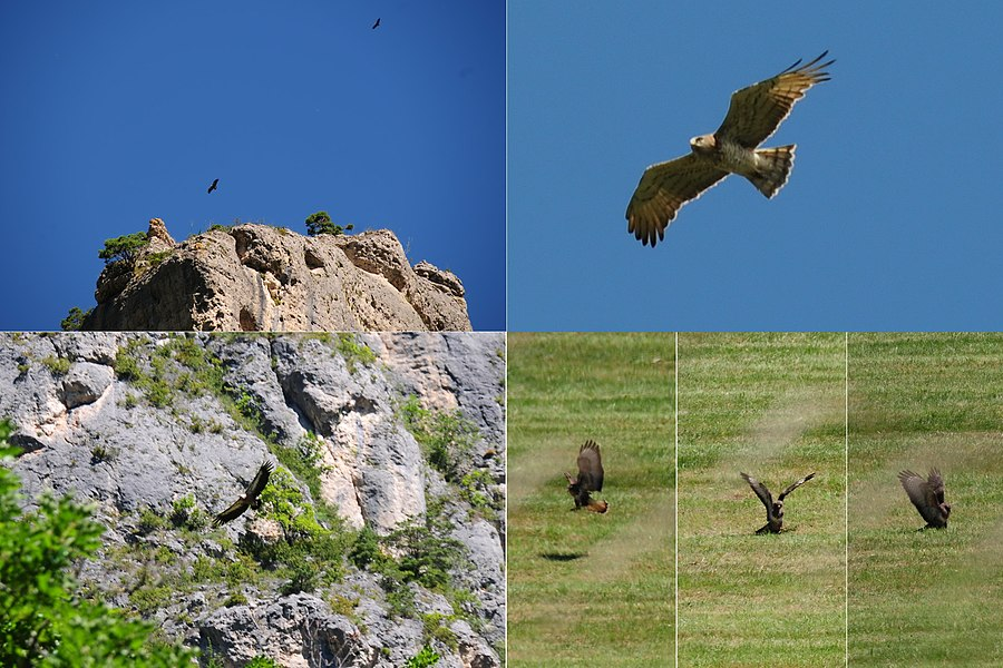 Birds of prey are the specialty of the Cevennes and the Tarn Canyon. Vultures etc.