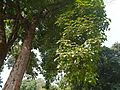 Bischofia javanica (8880957273).jpg