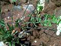 Biscutella auriculata stem CampoCalatrava.jpg