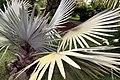 Bismarckia nobilis 25zz.jpg