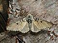 Biston betularia - Peppered moth - Пяденица берёзовая (27050312648).jpg