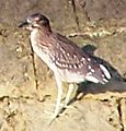 Black-crowned Night Heron Baby.jpg