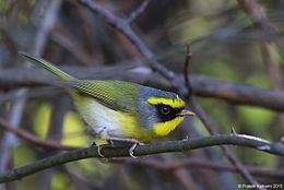 Black-faced Warbler.jpg