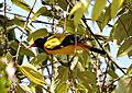 Black-hooded Oriole Oriolus xanthornus by Dr Raju Kasambe.JPG