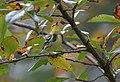 Black-throated Green Warbler (29428561714).jpg