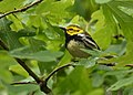 Black-throated Green Warbler (33960686748).jpg