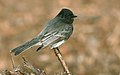 BlackPhoebe-28DEC2017.jpg