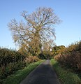 Black Poplar, Watery Lane - geograph.org.uk - 606821.jpg