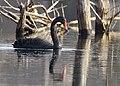Black Swan - DSC 0833 (31908551644).jpg