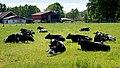 Black and white cows relaxing in Brodalen.jpg