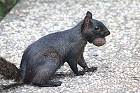 Black squirrel carrying a walnut in its mouth, close view.jpg