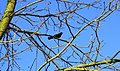 Blackbird's song - panoramio.jpg