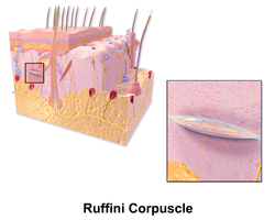 Blausen 0807 Skin RuffiniCorpuscle.png