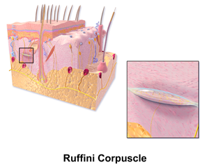 Sensory neuron - Image: Blausen 0807 Skin Ruffini Corpuscle