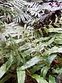 Blechnum (Filicophyta).jpg