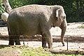 Blijdorp - Elephas maximus v3.jpg