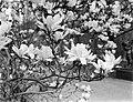 Bloeiende magnolia bij het Rijksmuseum, Bestanddeelnr 252-1534.jpg