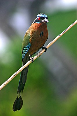 Blue-crowned Motmot front 2.jpg