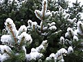 Blue-spruce-tree-snow-spring1 - West Virginia - ForestWander.jpg