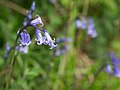 Bluebell (7819715182).jpg