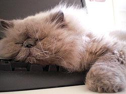 f23c735c78b3 Γάτα Ιμαλαΐων επάνω σε πληκτρολόγιο.