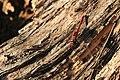 Blutrote Heidelibelle Sympetrum sanguineum male 7737.jpg