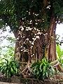 Bodhi Tree (Whiteleaf) of Wat Hua Hat 2.JPG