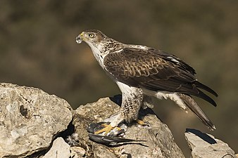 Bonelli's Eagle eating prey - Montsonis - Spain MG 4737 (25099366362).jpg