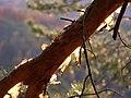 Borová větev, Houska.jpg