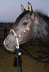 A head shot of a black horse wearing a headstall with a rawhide braided noseband