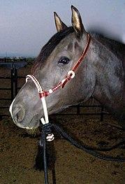 Horse wearing a bosal hackamore.