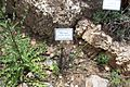 Botanic garden Limonium sinuatum.JPG