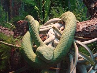 <i>Bothriechis rowleyi</i> Species of snake