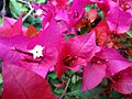 Bougainvillea glabra of Bangladesh 08.jpg