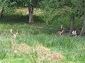 Boutissaint-fallow deers2-28-08-17.jpg