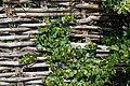 Braided wattle hurdle fence ivy at Riverside Moorings, Shoreham, West Sussex, England 1.jpg