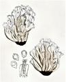 Bresadola - Clavaria cristata.png