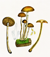 Bresadola - Pholiota marginata.png