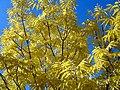 Brilliant Yellow (2877575025).jpg