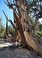 Bristlecone Pinus longaeva twisted grain.jpg